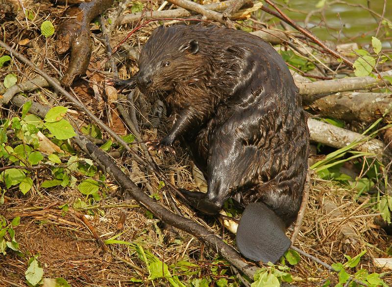 Beaver 003