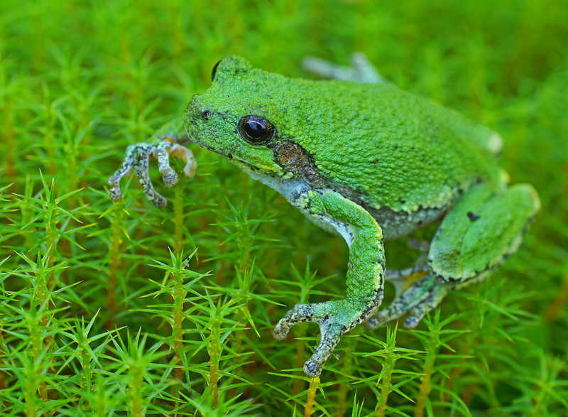 Gray Tree Frog 002<br /> <br /> When it moved to the club moss it appeared as though it was floating in air. Those sticky little toes looked like they could belong to an alien.