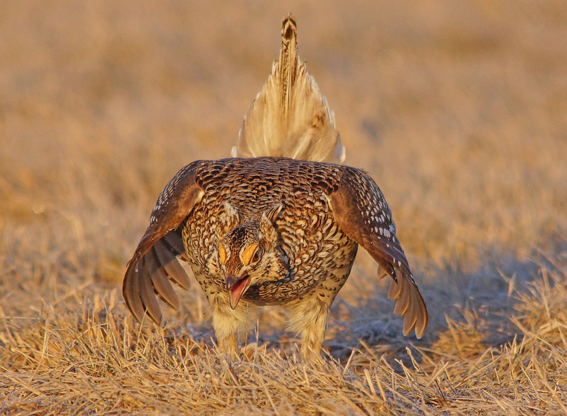 Sharp-tailed Grouse 007