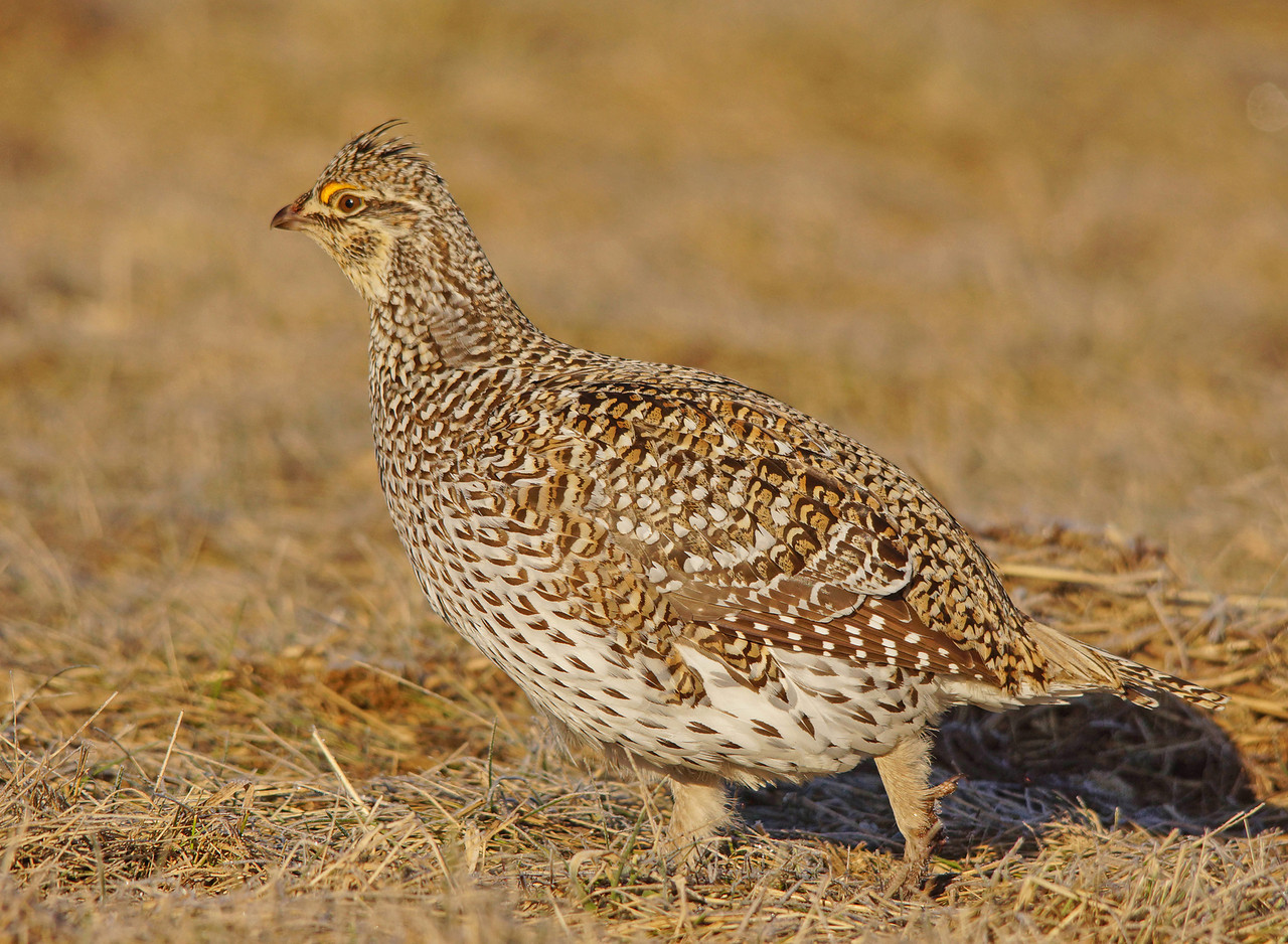 Sharp-tailed Grouse 001