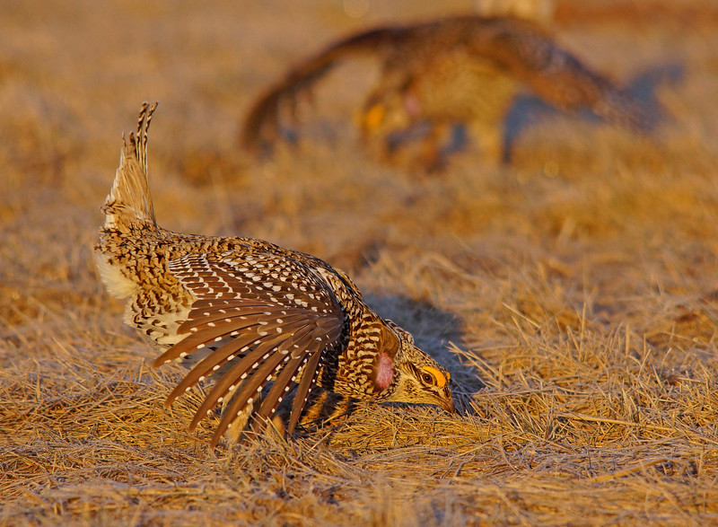 Sharp-tailed Grouse 003