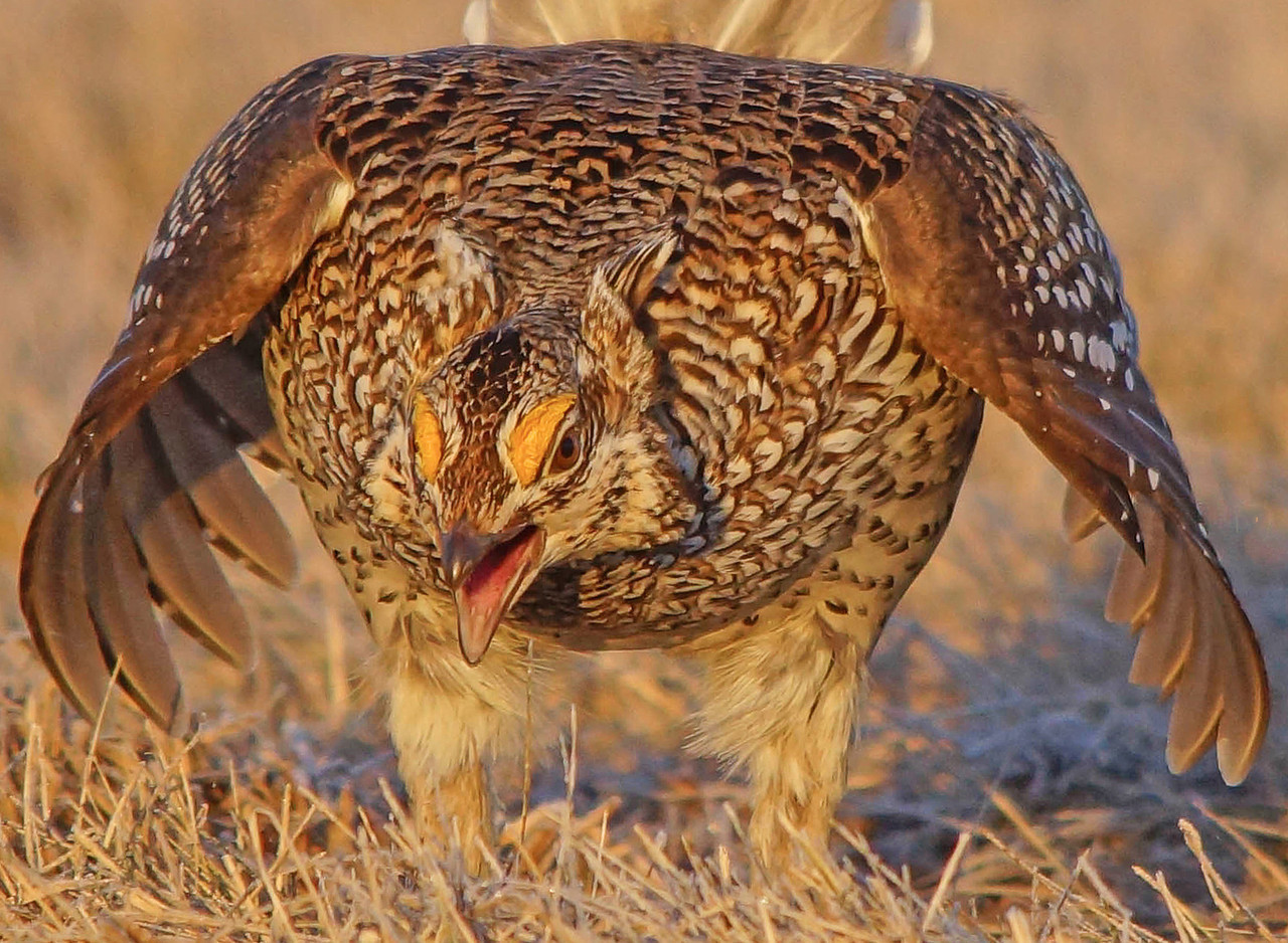 Sharp-tailed Grouse 008