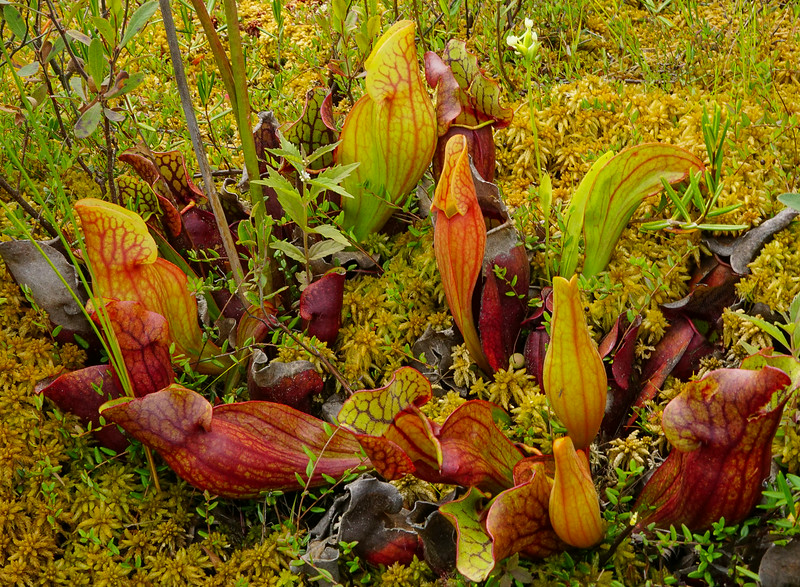 Kelso River Pitcher Plants