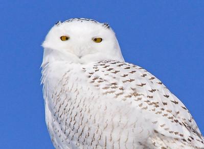Snowy Owl 003