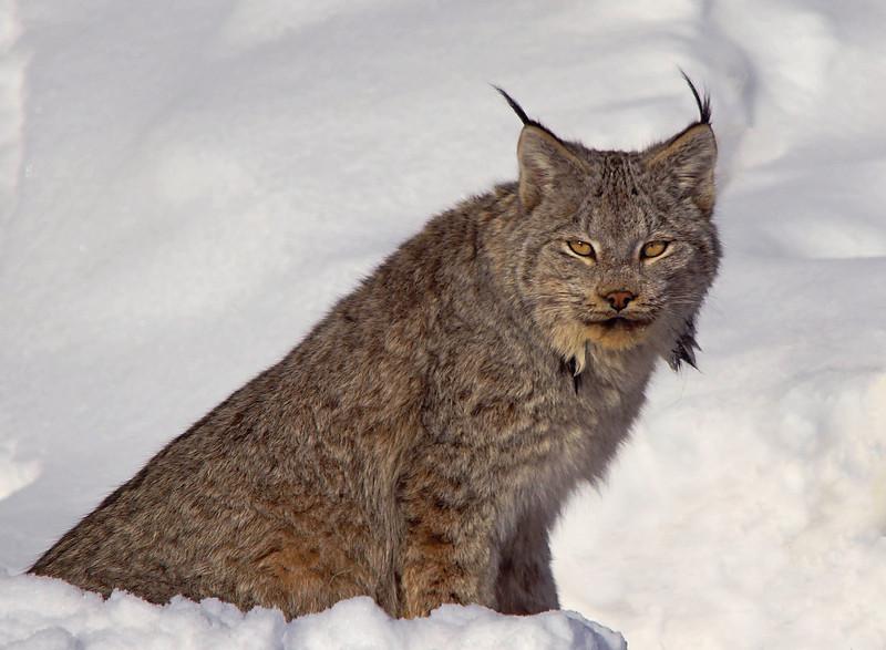 Lynx 001