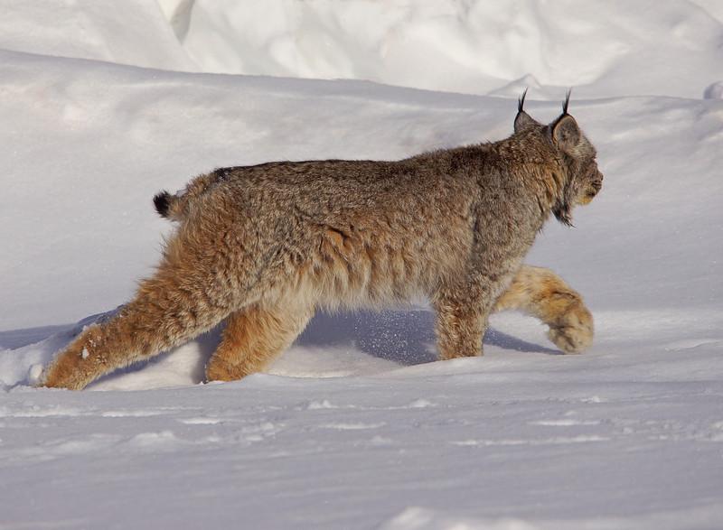 Lynx 003