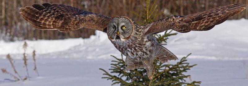 Gray Gray Owl 004
