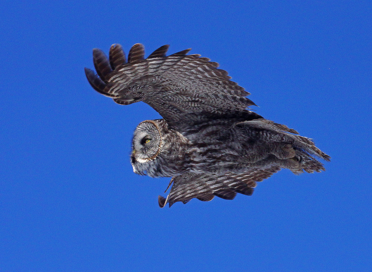 Great Gray Owl 006