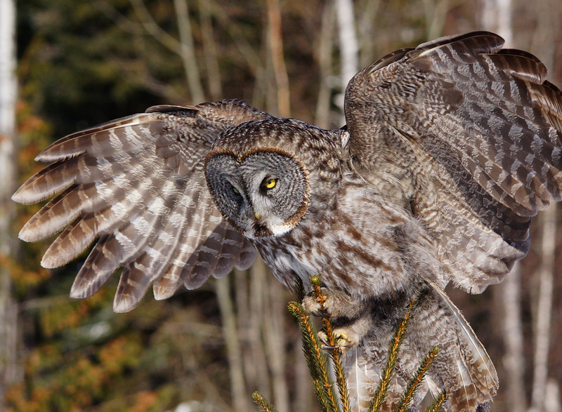 Great Gray Owl 003