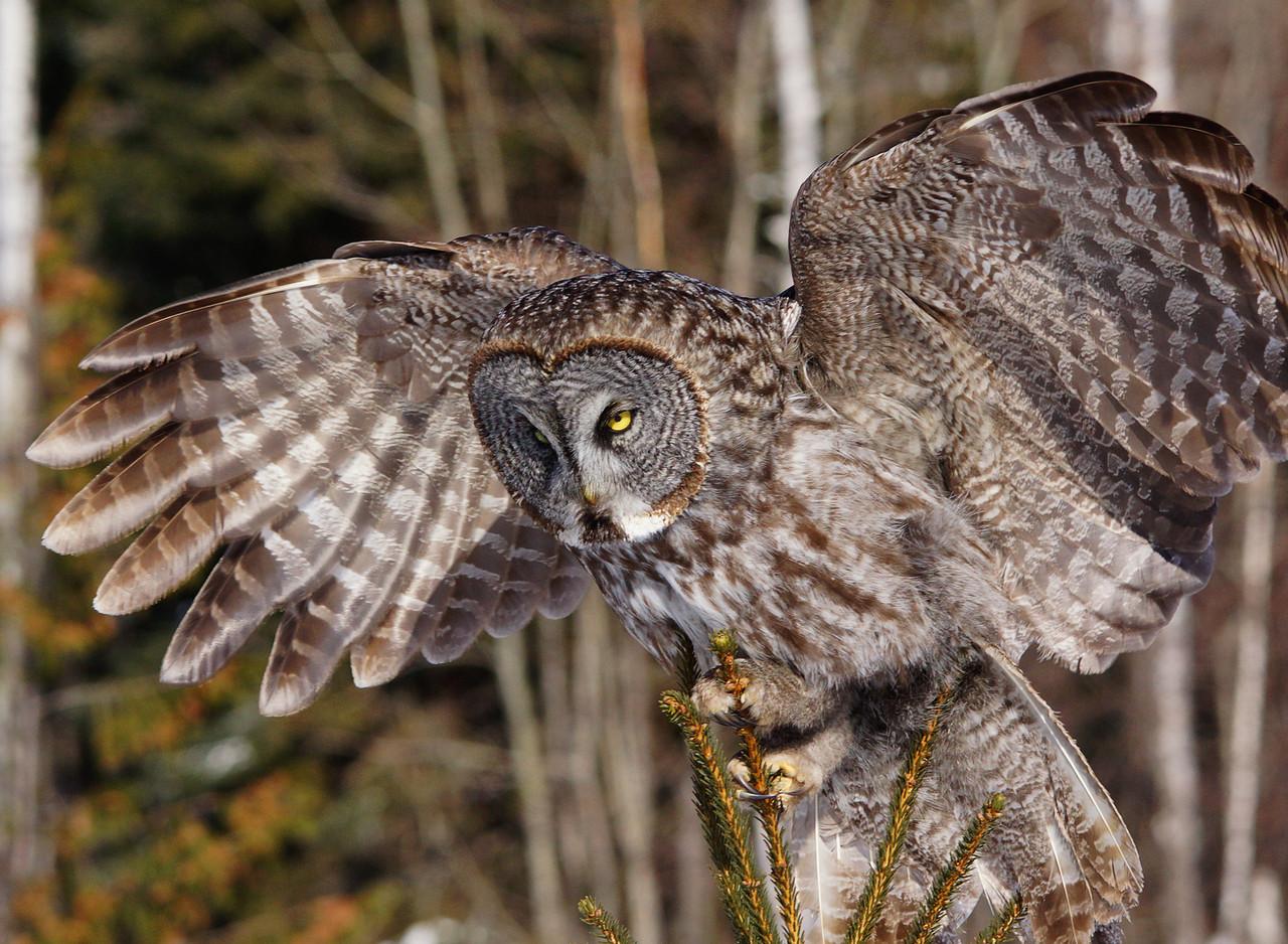 Great Gray Owl 003