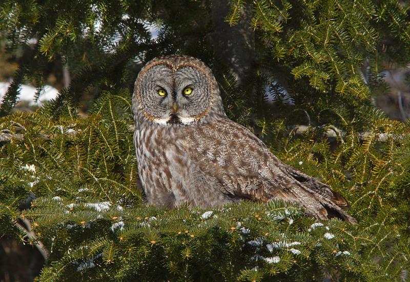 Gray Gray Owl 001