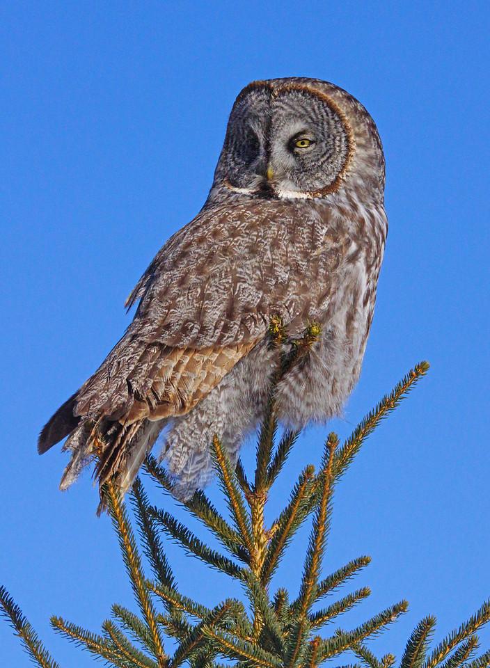 Great Gray Owl 005