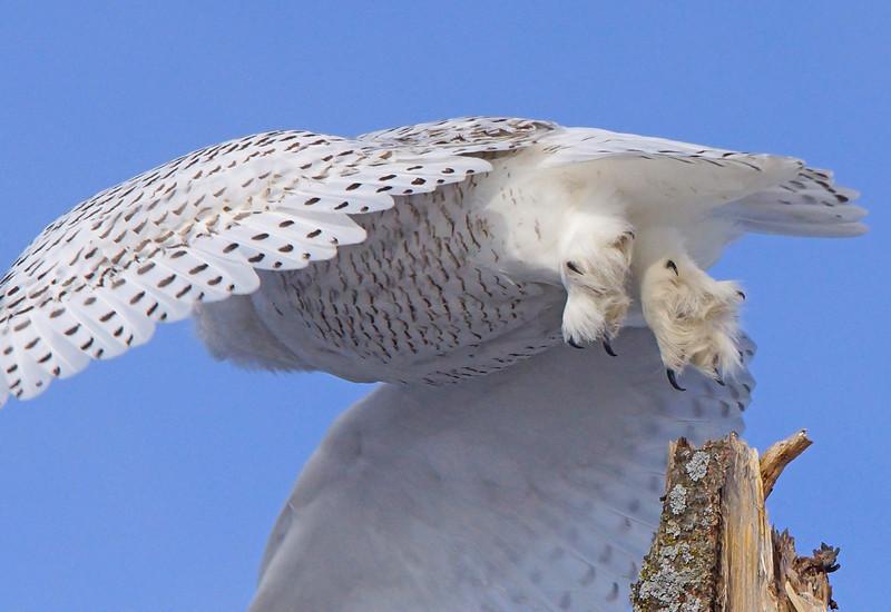 Snowy Owl 005