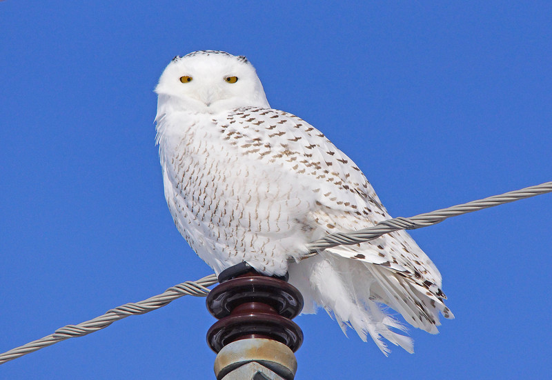 Snowy Owl 006