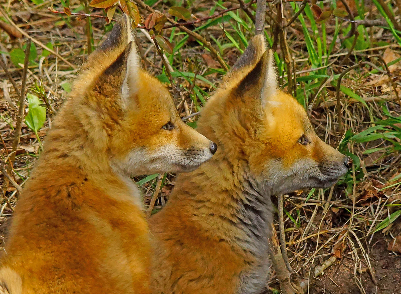 Red Fox Kits 007