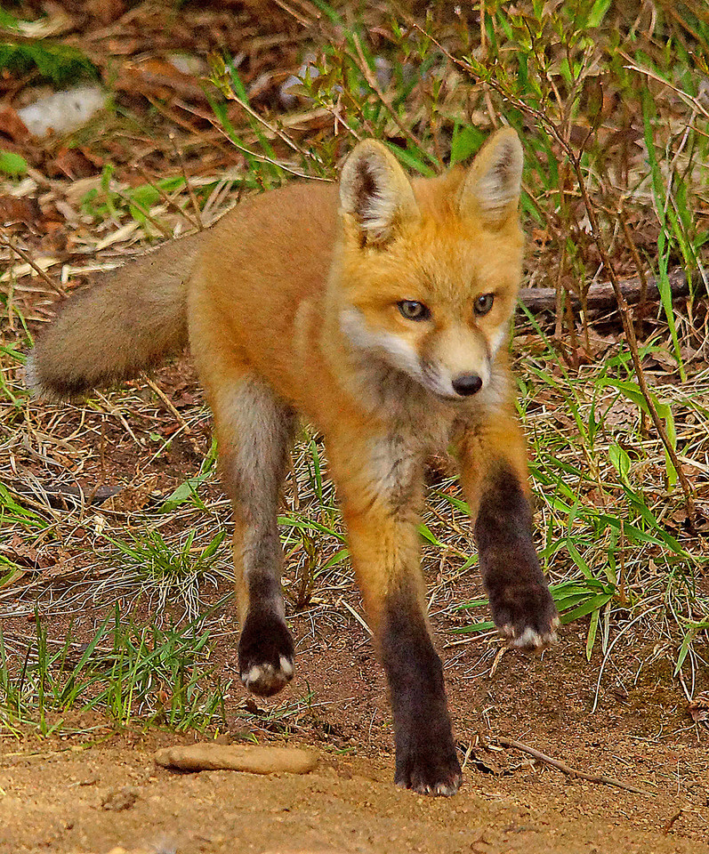 Red Fox Kit 003