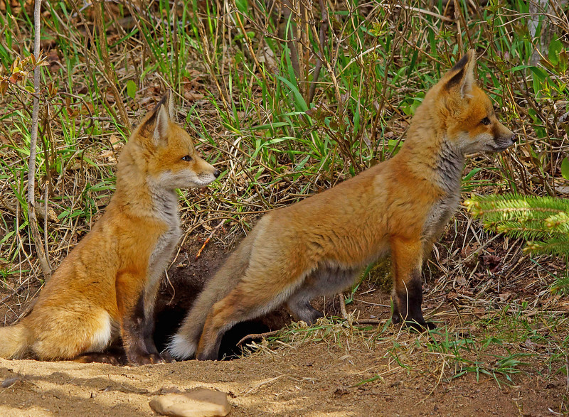 Red Fox KIts 008