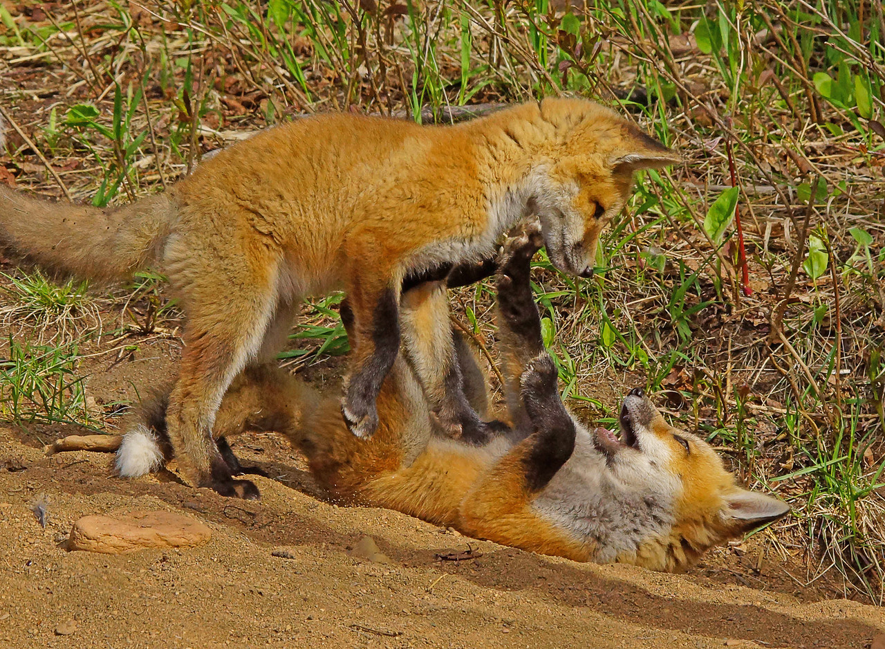 Red Fox Kits 004
