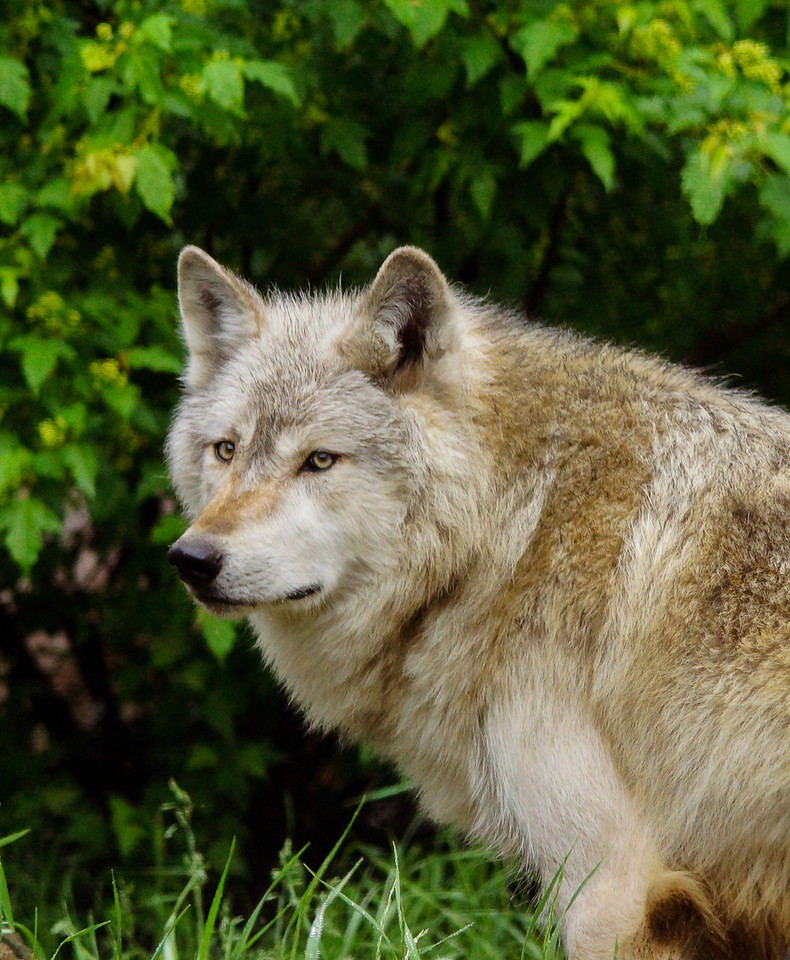 Ely Wolf Center