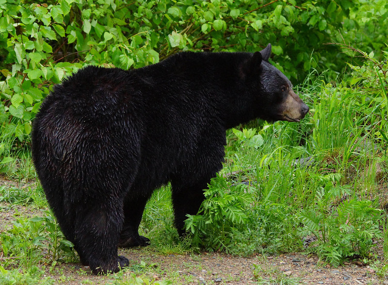 Ely Bear Center