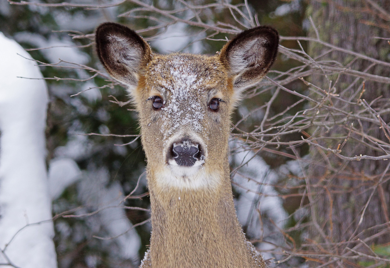 Deer want the winter to end