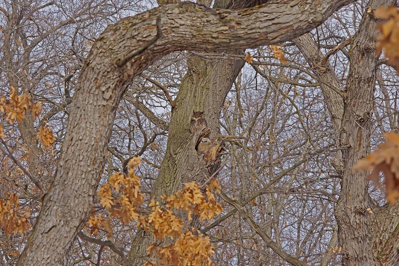 Great Horned Owl Family 001