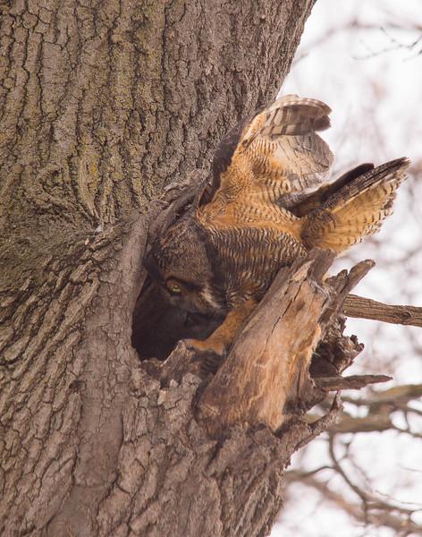 Great Horned Owl Family 003