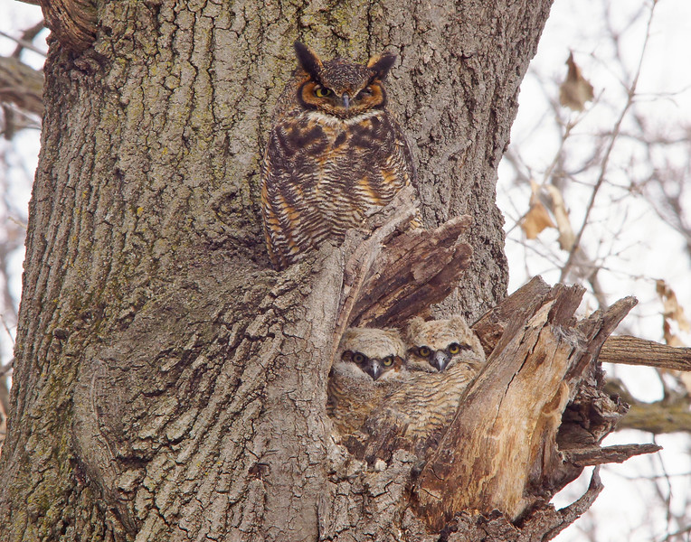 Great Horned Owl Family 007