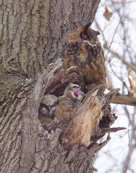 Great Horned Owl Family 005