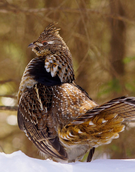Drumming Ruffed Grouse 003