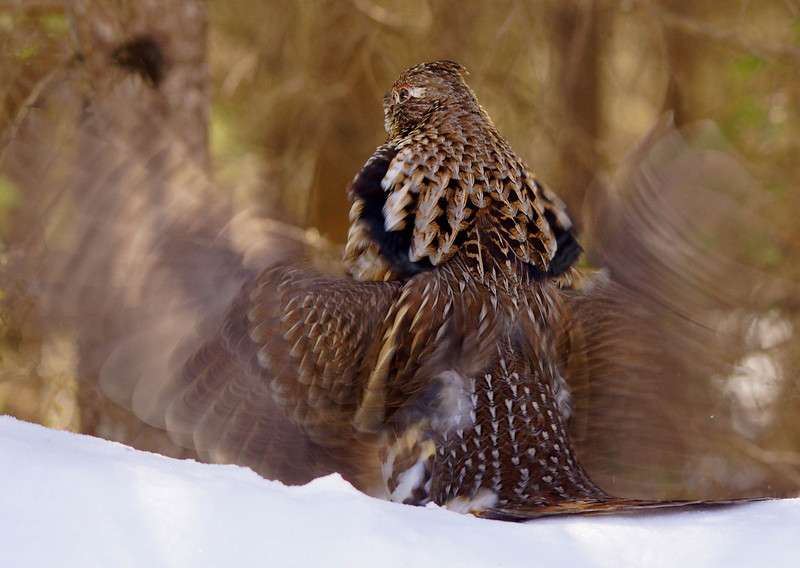 Drumming Ruffed Grouse 002