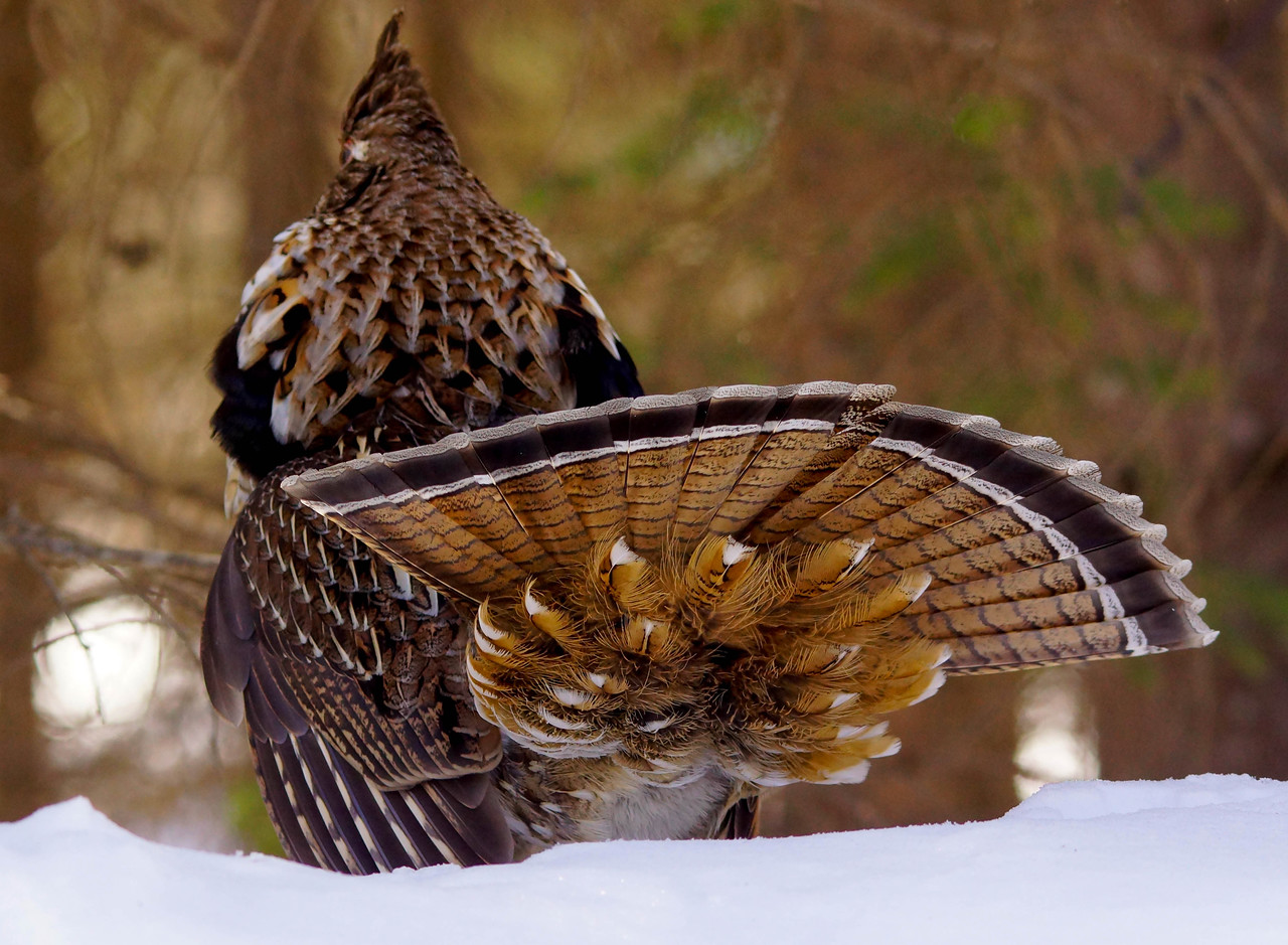 Drumming Ruffed Grouse 005