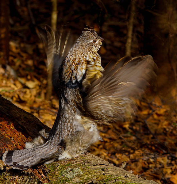 Drumming Ruffed Grouse 008