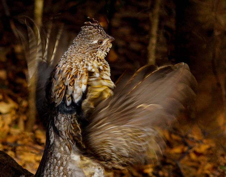Drumming Ruffed Grouse 009