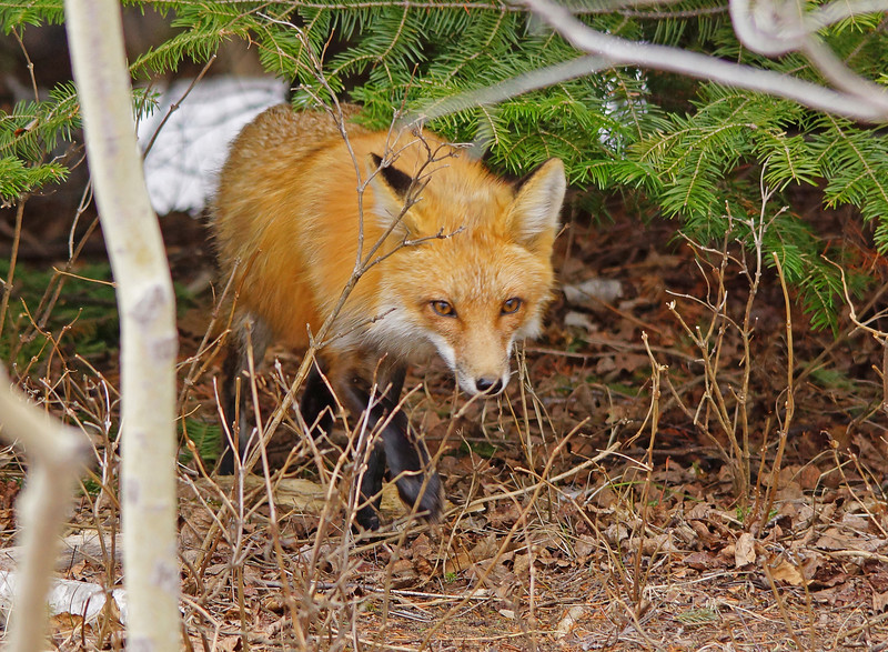 Red Fox Family 001