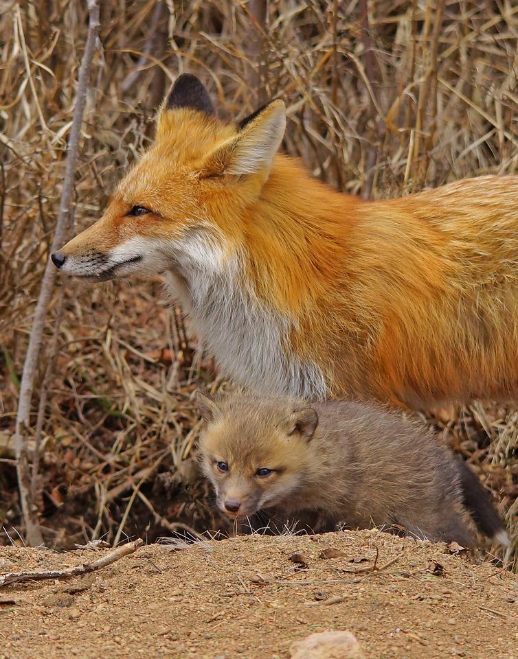 Red Fox Family 004