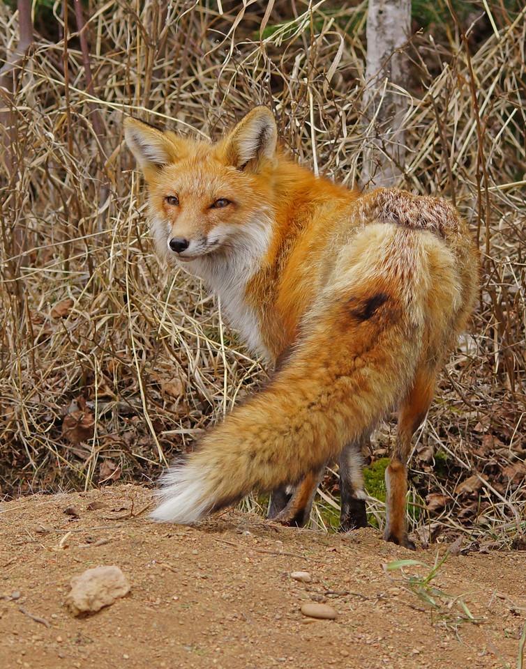 Red Fox Family 002