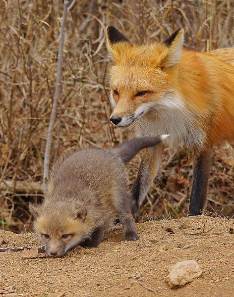 Red Fox Family 005