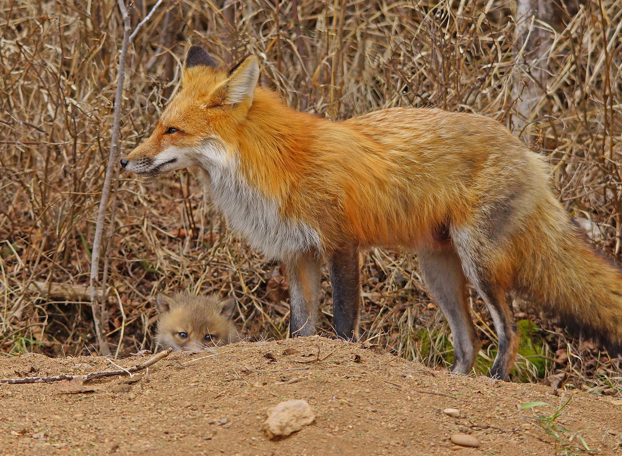 Red Fox Family 003