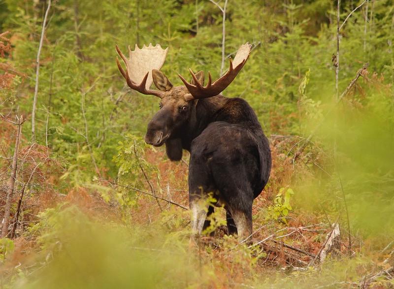 Bull Moose 006