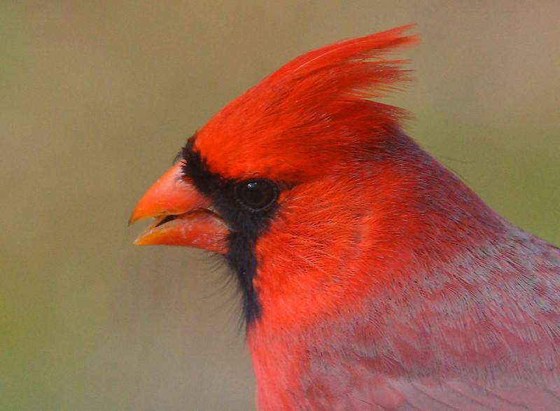 Cardinal 002