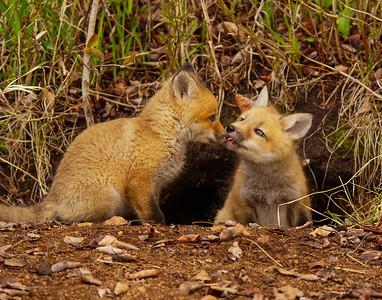 Fox Kits 001
