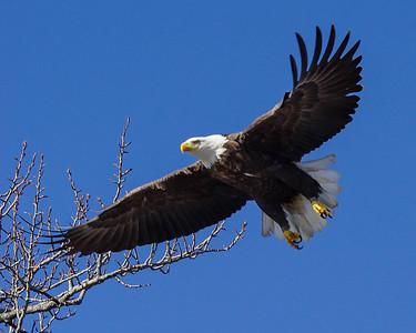 Bald Eagle 001