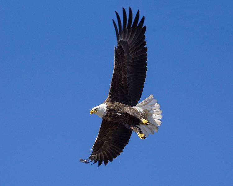 Bald Eagle 003
