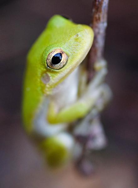Green Tree Frog 002