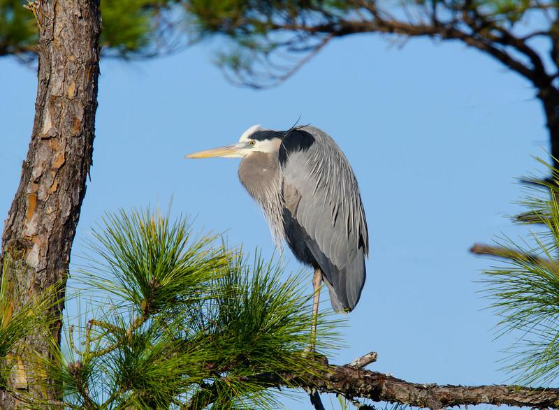 Great Blue Heron 004
