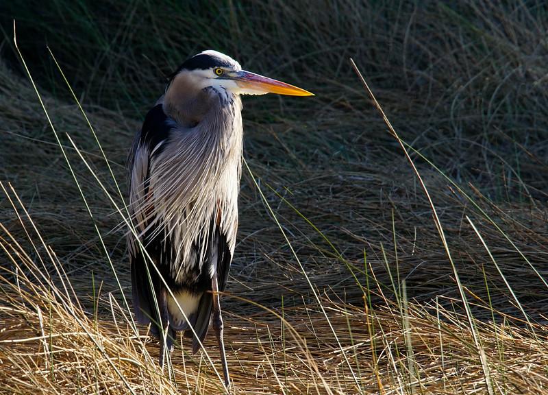 Great Blue Heron 002