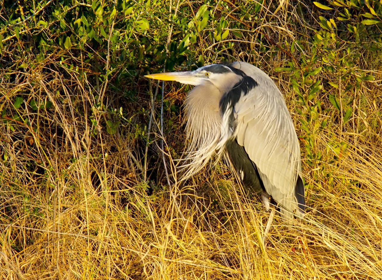 Great Blue Heron 003