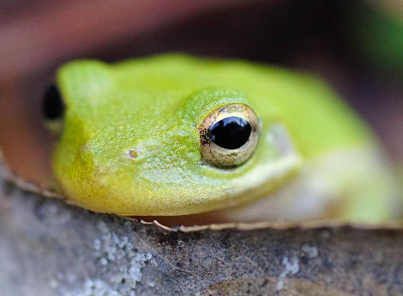 Green Tree Frog 001