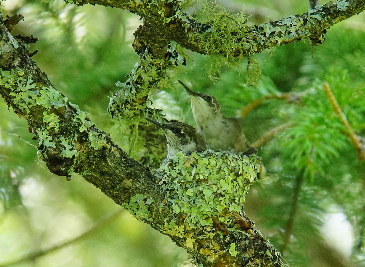 Ruby-throated Hummingbird Nest 010